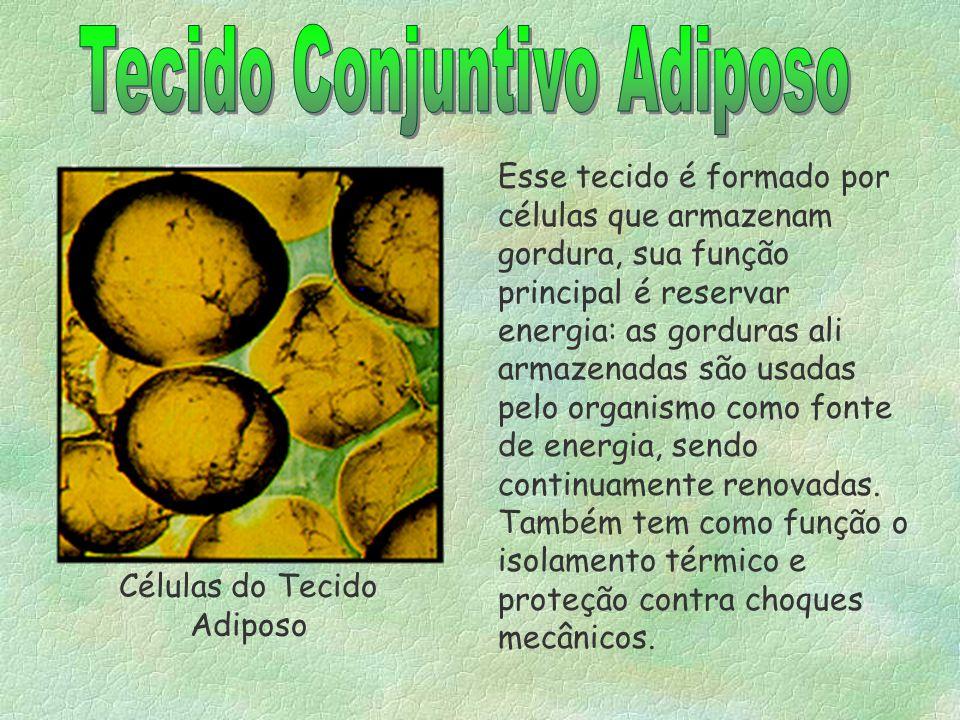 2-TECIDO CONJUNTIVO ADIPOSO -Células chamadas de adipócitos; -Funções: reserva, isolante térmico, amortecer contra choques mecânicos. §Células adipóci