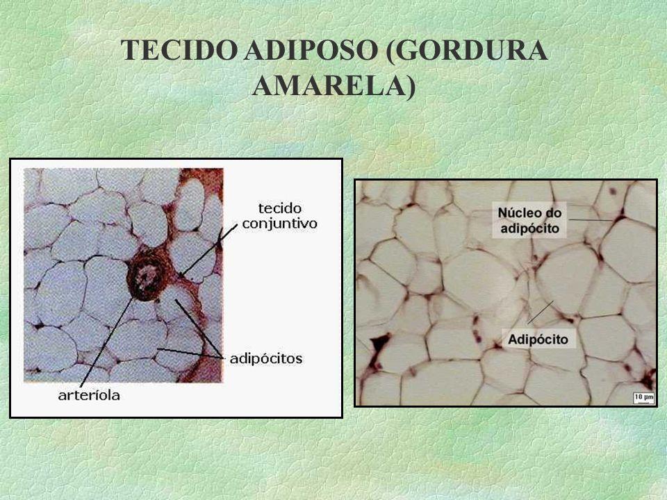 Esse tecido é formado por células que armazenam gordura, sua função principal é reservar energia: as gorduras ali armazenadas são usadas pelo organism