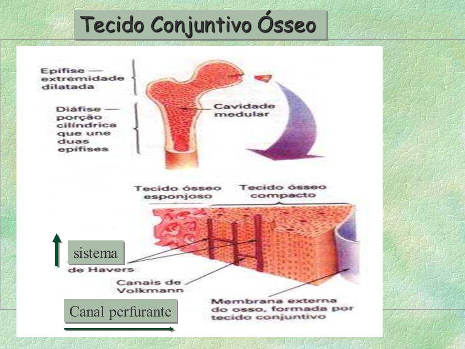 4-Tecido Conjuntivo ósseo É o principal constituinte dos ossos,os quais formam o nosso esqueleto.Consistência rígida e função de sustentação. Células