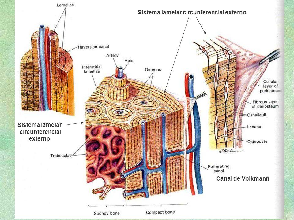 Osso compacto osso esponjoso