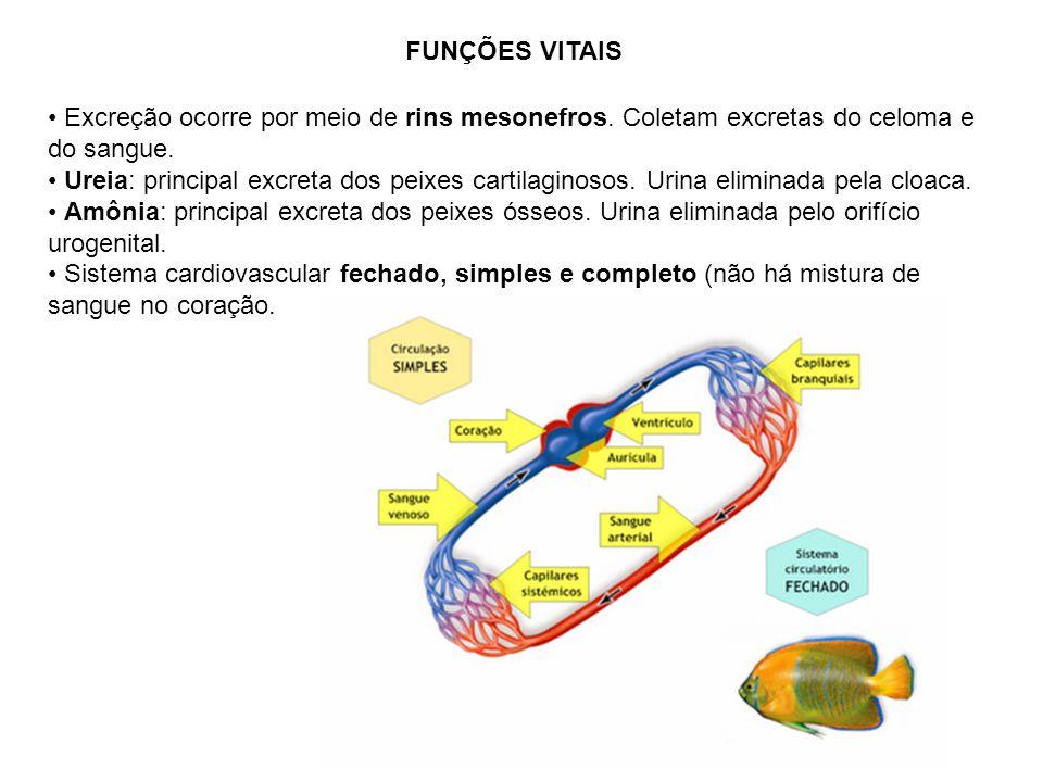 FUNÇÕES VITAIS Excreção ocorre por meio de rins mesonefros. Coletam excretas do celoma e do sangue. Ureia: principal excreta dos peixes cartilaginosos