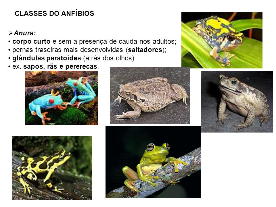 CLASSES DO ANFÍBIOS Anura: corpo curto e sem a presença de cauda nos adultos; pernas traseiras mais desenvolvidas (saltadores); glândulas paratoides (