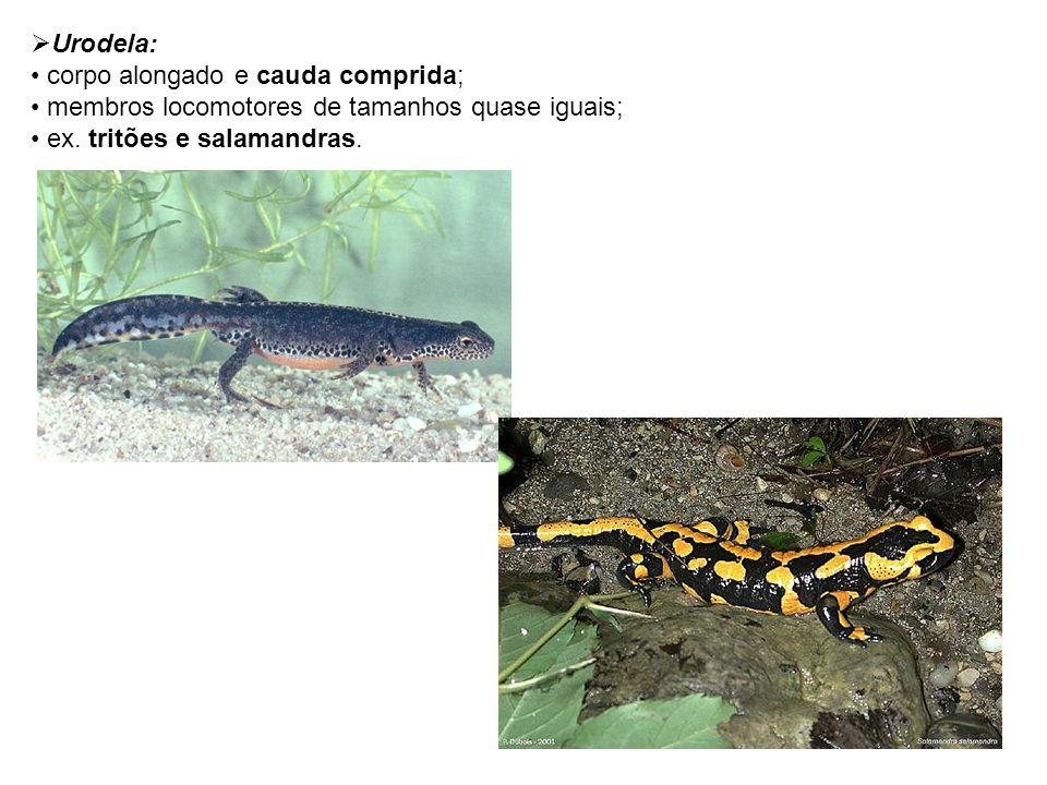 Urodela: corpo alongado e cauda comprida; membros locomotores de tamanhos quase iguais; ex. tritões e salamandras.