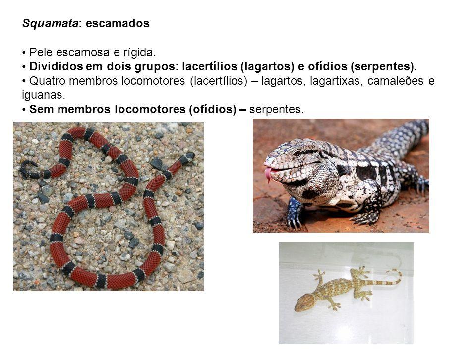 Squamata: escamados Pele escamosa e rígida. Divididos em dois grupos: lacertílios (lagartos) e ofídios (serpentes). Quatro membros locomotores (lacert