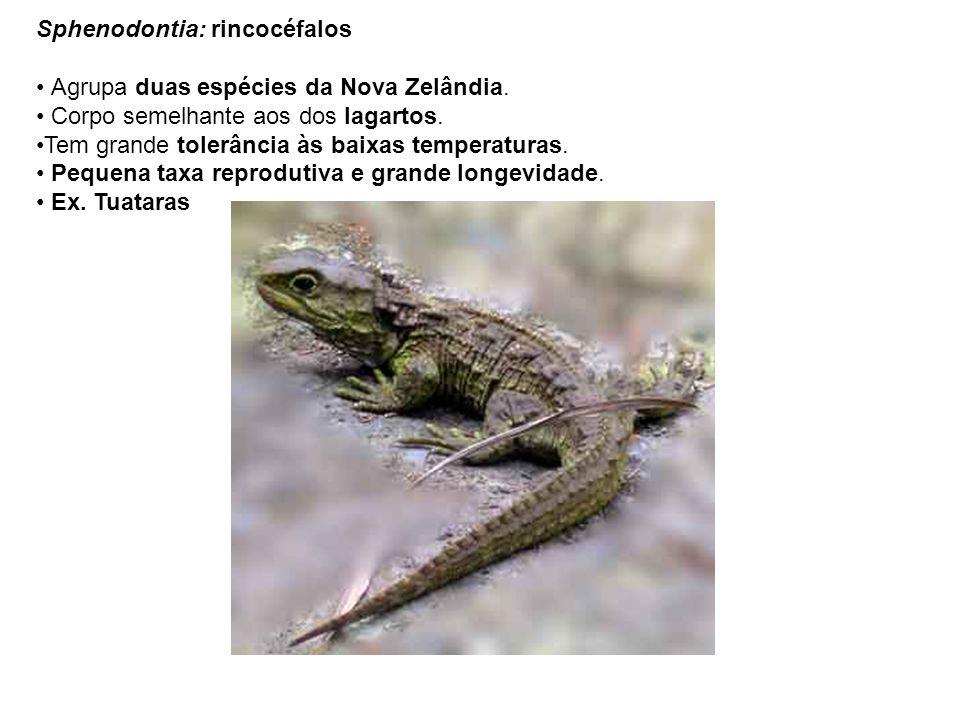 Sphenodontia: rincocéfalos Agrupa duas espécies da Nova Zelândia. Corpo semelhante aos dos lagartos. Tem grande tolerância às baixas temperaturas. Peq