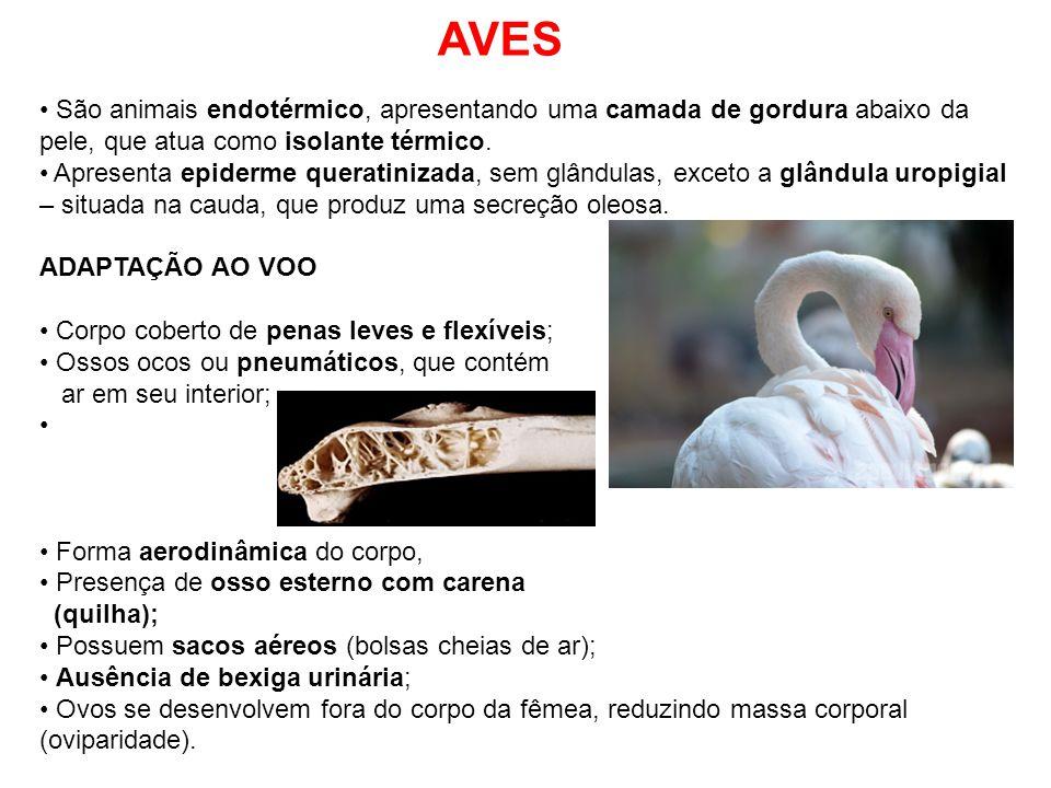 AVES São animais endotérmico, apresentando uma camada de gordura abaixo da pele, que atua como isolante térmico. Apresenta epiderme queratinizada, sem
