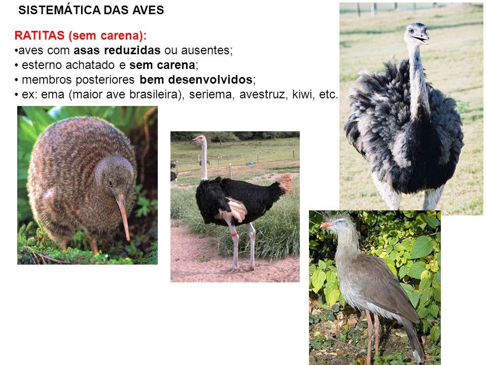 SISTEMÁTICA DAS AVES RATITAS (sem carena): aves com asas reduzidas ou ausentes; esterno achatado e sem carena; membros posteriores bem desenvolvidos;