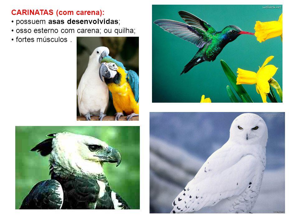 CARINATAS (com carena): possuem asas desenvolvidas; osso esterno com carena; ou quilha; fortes músculos.