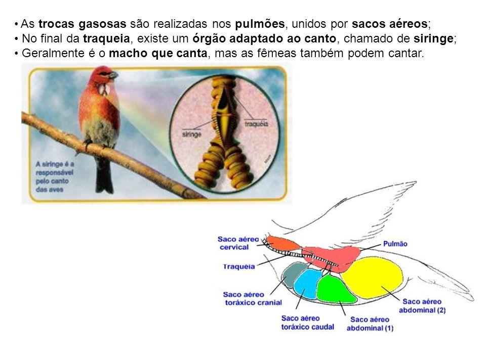 As trocas gasosas são realizadas nos pulmões, unidos por sacos aéreos; No final da traqueia, existe um órgão adaptado ao canto, chamado de siringe; Ge