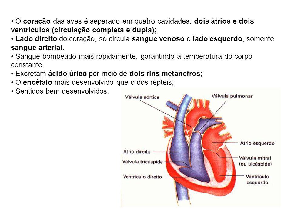 O coração das aves é separado em quatro cavidades: dois átrios e dois ventrículos (circulação completa e dupla); Lado direito do coração, só circula s