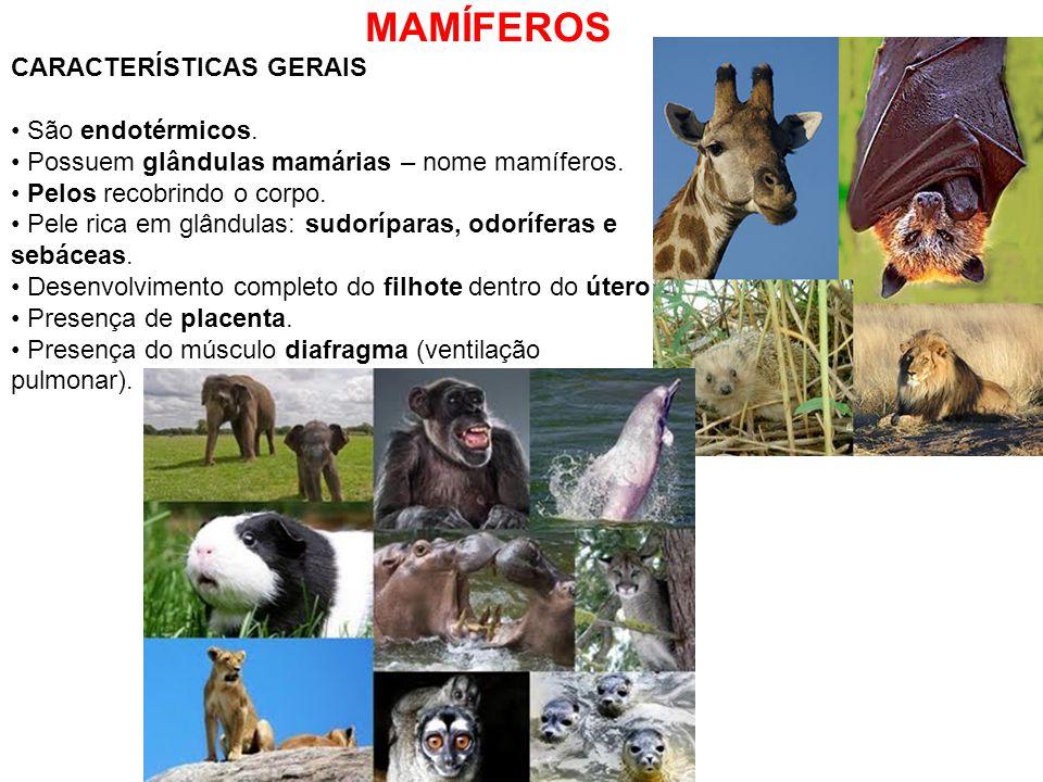 MAMÍFEROS CARACTERÍSTICAS GERAIS São endotérmicos. Possuem glândulas mamárias – nome mamíferos. Pelos recobrindo o corpo. Pele rica em glândulas: sudo