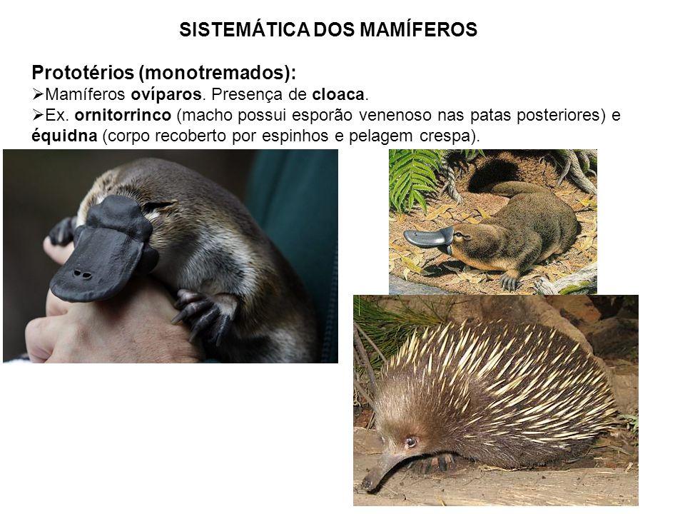 SISTEMÁTICA DOS MAMÍFEROS Prototérios (monotremados): Mamíferos ovíparos. Presença de cloaca. Ex. ornitorrinco (macho possui esporão venenoso nas pata