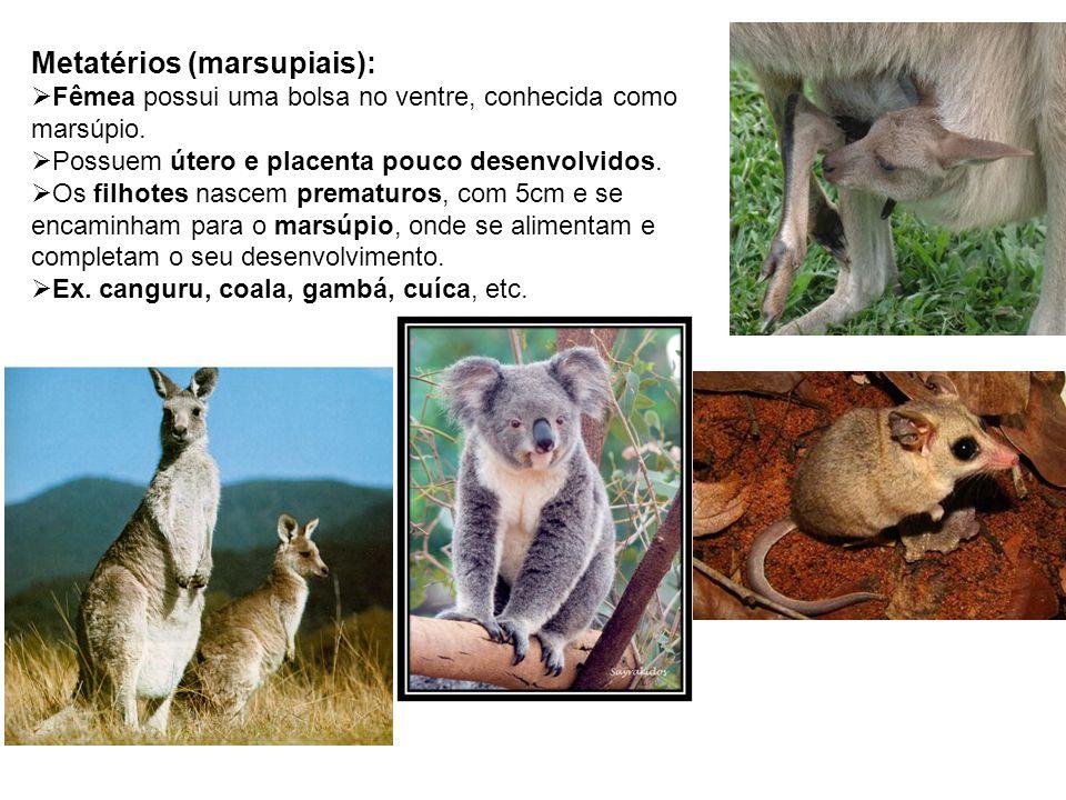 Metatérios (marsupiais): Fêmea possui uma bolsa no ventre, conhecida como marsúpio. Possuem útero e placenta pouco desenvolvidos. Os filhotes nascem p
