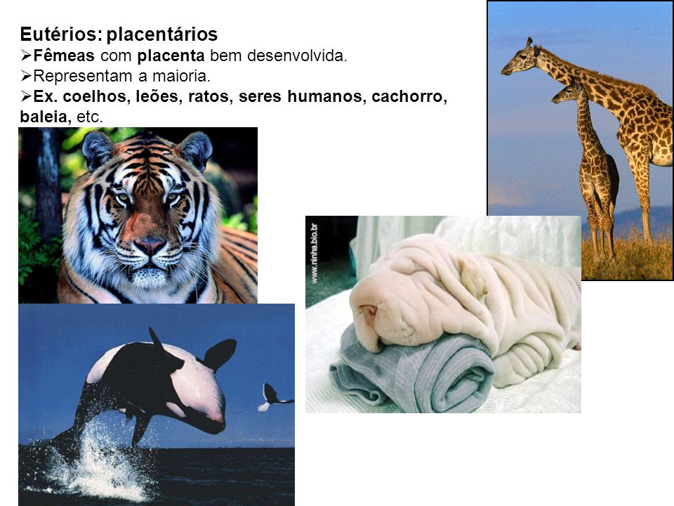 Eutérios: placentários Fêmeas com placenta bem desenvolvida. Representam a maioria. Ex. coelhos, leões, ratos, seres humanos, cachorro, baleia, etc.