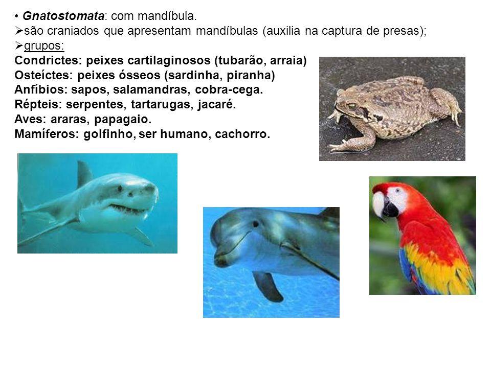 Gnatostomata: com mandíbula. são craniados que apresentam mandíbulas (auxilia na captura de presas); grupos: Condrictes: peixes cartilaginosos (tubarã
