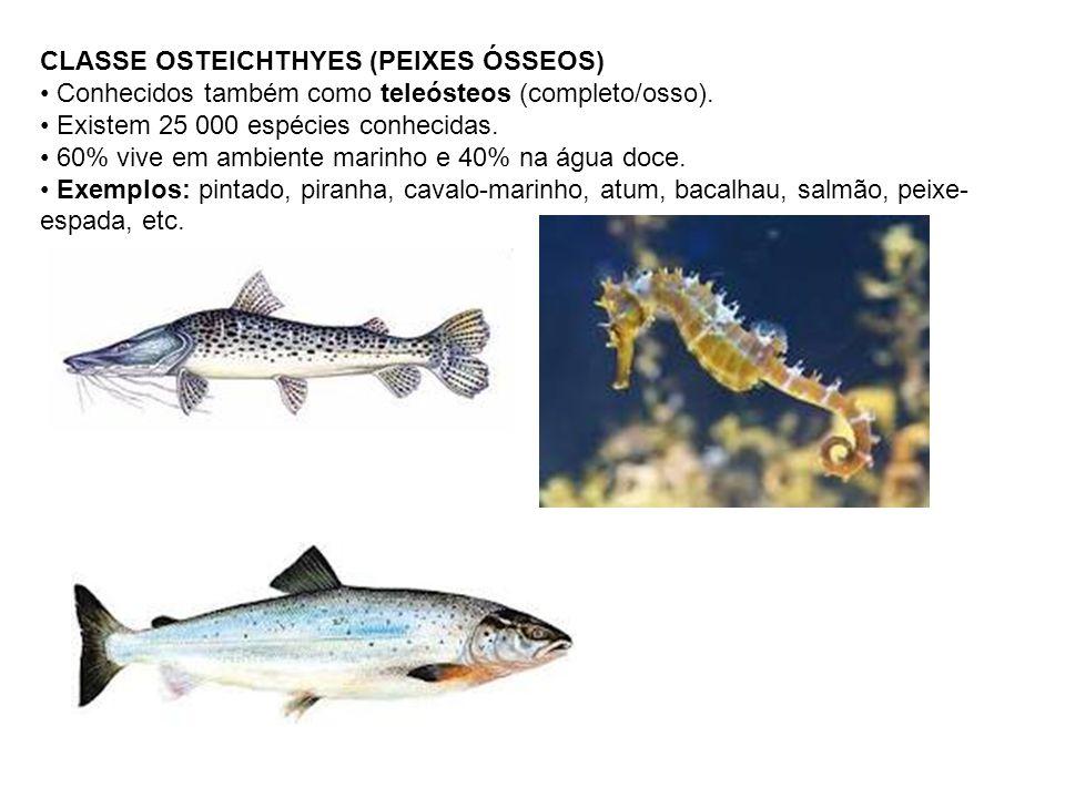 CLASSE OSTEICHTHYES (PEIXES ÓSSEOS) Conhecidos também como teleósteos (completo/osso). Existem 25 000 espécies conhecidas. 60% vive em ambiente marinh