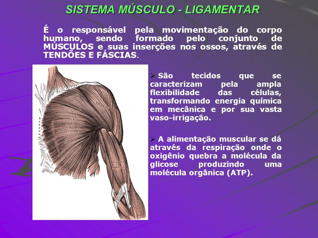 É o responsável pela movimentação do corpo humano, sendo formado pelo conjunto de MÚSCULOS e suas inserções nos ossos, através de TENDÕES E FÁSCIAS. S