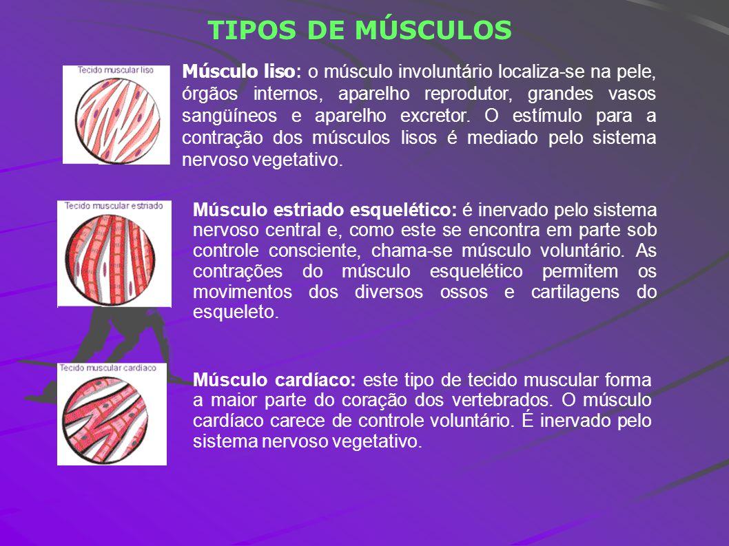 TIPOS DE MÚSCULOS Músculo liso: o músculo involuntário localiza-se na pele, órgãos internos, aparelho reprodutor, grandes vasos sangüíneos e aparelho
