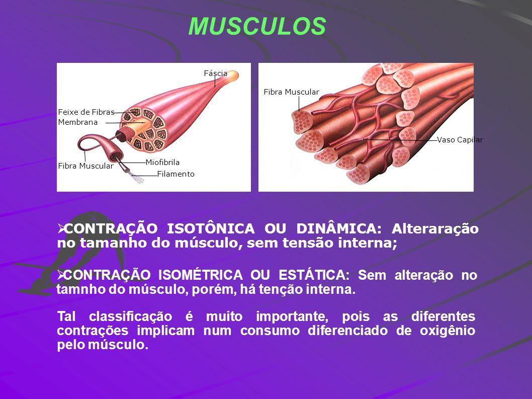 MUSCULOS Feixe de Fibras Membrana Fibra Muscular Miofibrila Filamento Fáscia Fibra Muscular Vaso Capilar CONTRAÇÃO ISOTÔNICA OU DINÂMICA: Alteraração