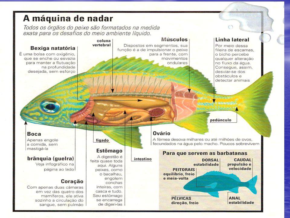 Hábitos alimentares Os peixes pelágicos de pequenas dimensões como as sardinhas são geralmente planctonófagos, ou seja, alimentam-se quase passivamente do plâncton disperso na água, que filtram à medida que respiram , com a ajuda de branquispinhas, que são excrescências ósseas dos arcos branquiais.