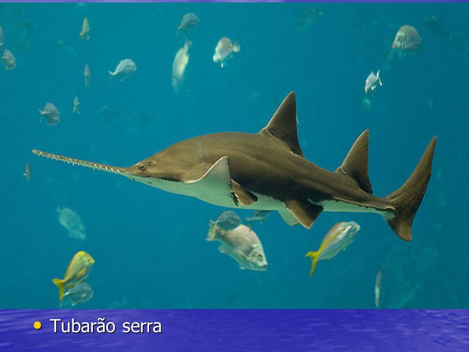 Tubarão serra Tubarão serra