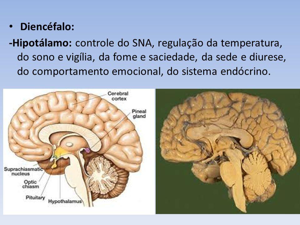 Diencéfalo: - Glândula Pineal ou Epífise