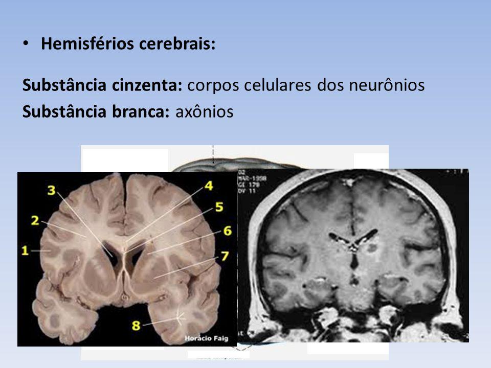 Hemisférios cerebrais: Substância cinzenta: corpos celulares dos neurônios Substância branca: axônios Córtex cerebral: fina camada de substância cinzenta.