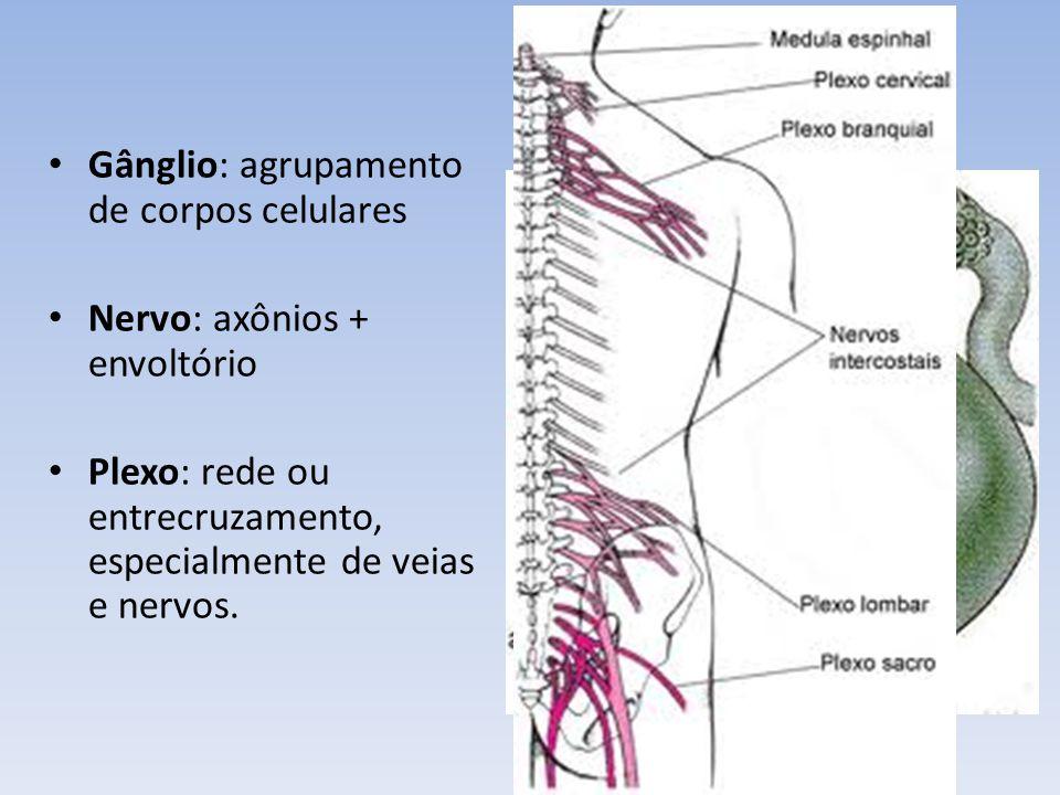 Neurônios aferentes ou sensitivos: Especializados em receber estímulos e conduzir os impulsos ao centro.
