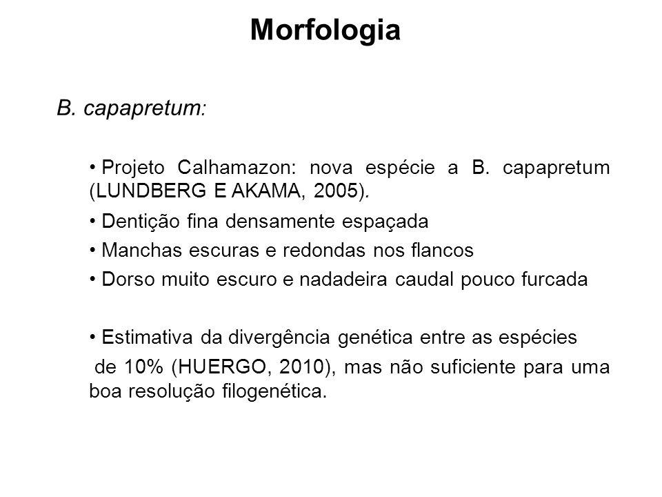 Morfologia B. capapretum : Projeto Calhamazon: nova espécie a B. capapretum (LUNDBERG E AKAMA, 2005). Dentição fina densamente espaçada Manchas escura