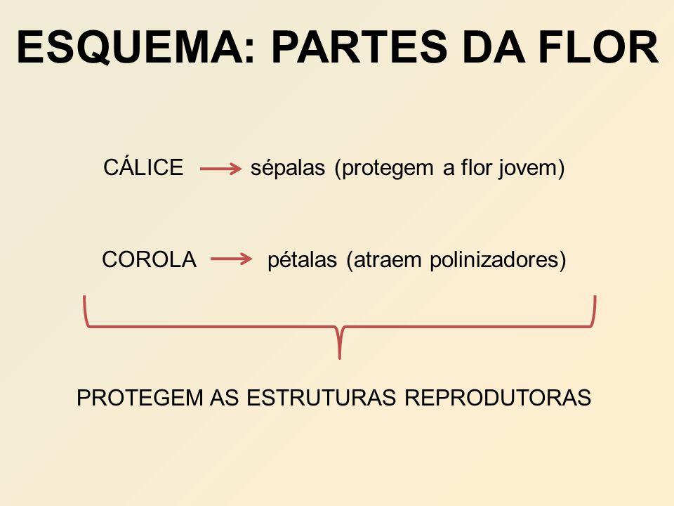 ESQUEMA: PARTES DA FLOR CÁLICE sépalas (protegem a flor jovem) COROLA pétalas (atraem polinizadores) PROTEGEM AS ESTRUTURAS REPRODUTORAS