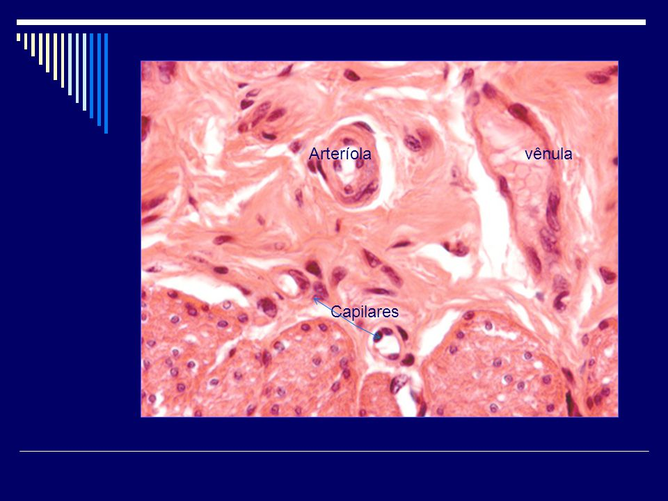 Arteríolavênula Capilares