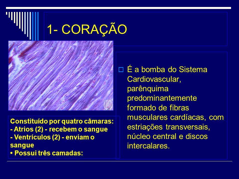 1- CORAÇÃO É a bomba do Sistema Cardiovascular, parênquima predominantemente formado de fibras musculares cardíacas, com estriações transversais, núcl