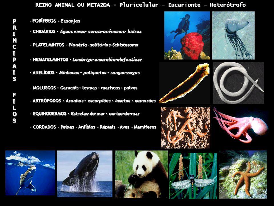 REINO ANIMAL OU METAZOA - Pluricelular – Eucarionte – Heterótrofo REINO ANIMAL OU METAZOA - Pluricelular – Eucarionte – Heterótrofo - PORÍFEROS – Esponjas - CNIDÁRIOS – Águas vivas– corais–anêmonas- hidras - PLATELMINTOS – Planária- solitárias-Schistosoma - NEMATELMINTOS – Lombriga-amarelão-elefantíase - ANELÍDIOS – Minhocas – poliquetos - sanguessugas - MOLUSCOS – Caracóis – lesmas – mariscos - polvos - ARTRÓPODOS – Aranhas – escorpiões – insetos – camarões - EQUINODERMOS – Estrelas–do–mar – ouriço-do-mar - CORDADOS – Peixes – AnfÍbios – Répteis - Aves – Mamíferos PRINCIPAIS PRINCIPAIS FILOS FILOS PRINCIPAIS PRINCIPAIS FILOS FILOS