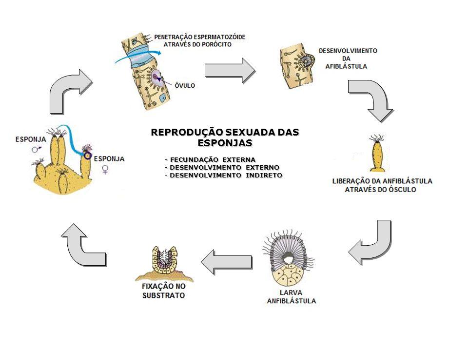 REPRODUÇÃO SEXUADA DAS ESPONJAS - FECUNDAÇÃO EXTERNA - DESENVOLVIMENTO EXTERNO - DESENVOLVIMENTO INDIRETO