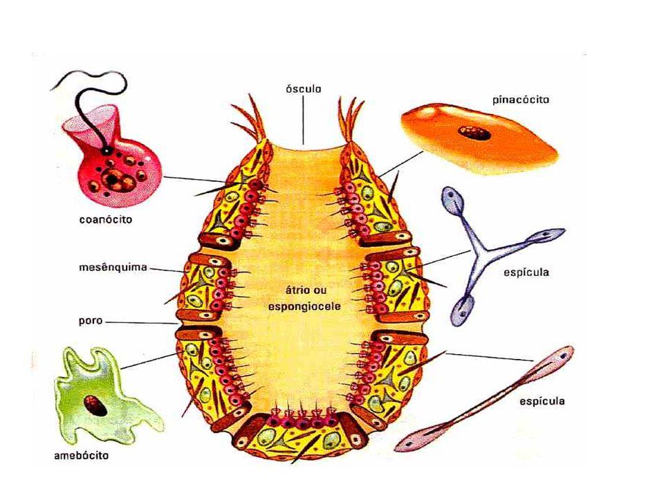 Reprodução nos Cnidários - hidra Assexuada – brotamento Sexuada testículo óvulo fecundação testículo espermatozóides surge nova hidra embrião se desprende zigoto casca quitinosa