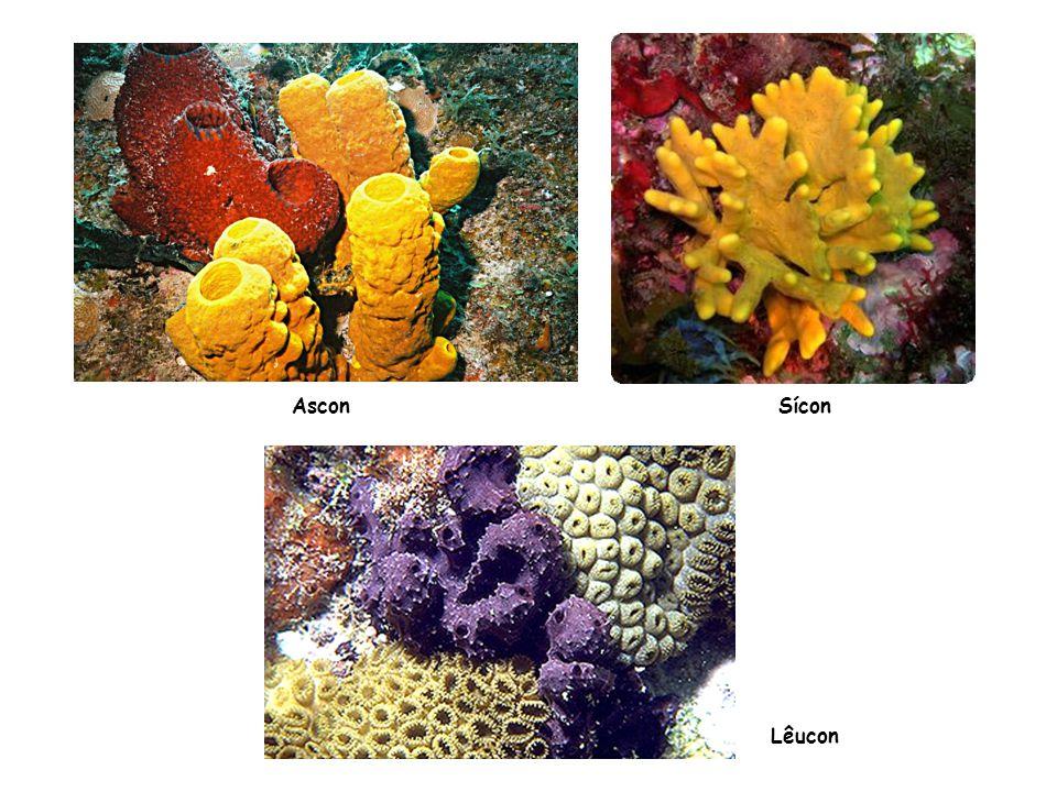 Classificação dos cnidários Hydrozoa – hidras e caravelas Scyphozoa – águas-vivas Anthozoa – anêmonas e corais