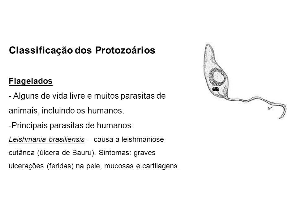 Classificação dos Protozoários Flagelados - Alguns de vida livre e muitos parasitas de animais, incluindo os humanos. -Principais parasitas de humanos