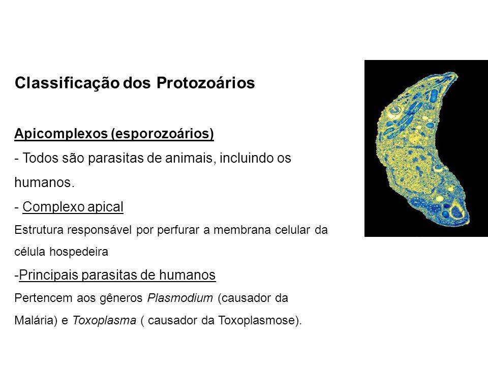 Classificação dos Protozoários Apicomplexos (esporozoários) - Todos são parasitas de animais, incluindo os humanos. - Complexo apical Estrutura respon