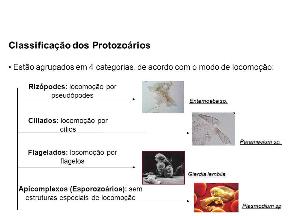Classificação dos Protozoários Estão agrupados em 4 categorias, de acordo com o modo de locomoção: Rizópodes: locomoção por pseudópodes Flagelados: lo