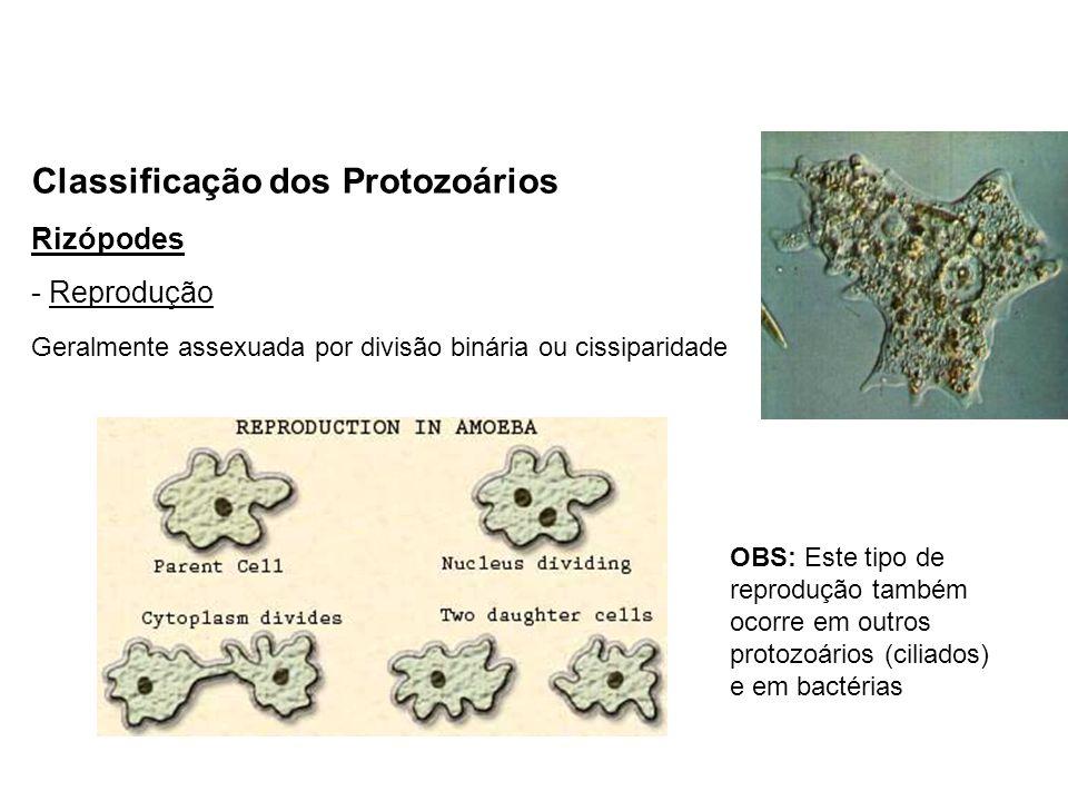 Classificação dos Protozoários Rizópodes - Reprodução Geralmente assexuada por divisão binária ou cissiparidade OBS: Este tipo de reprodução também oc
