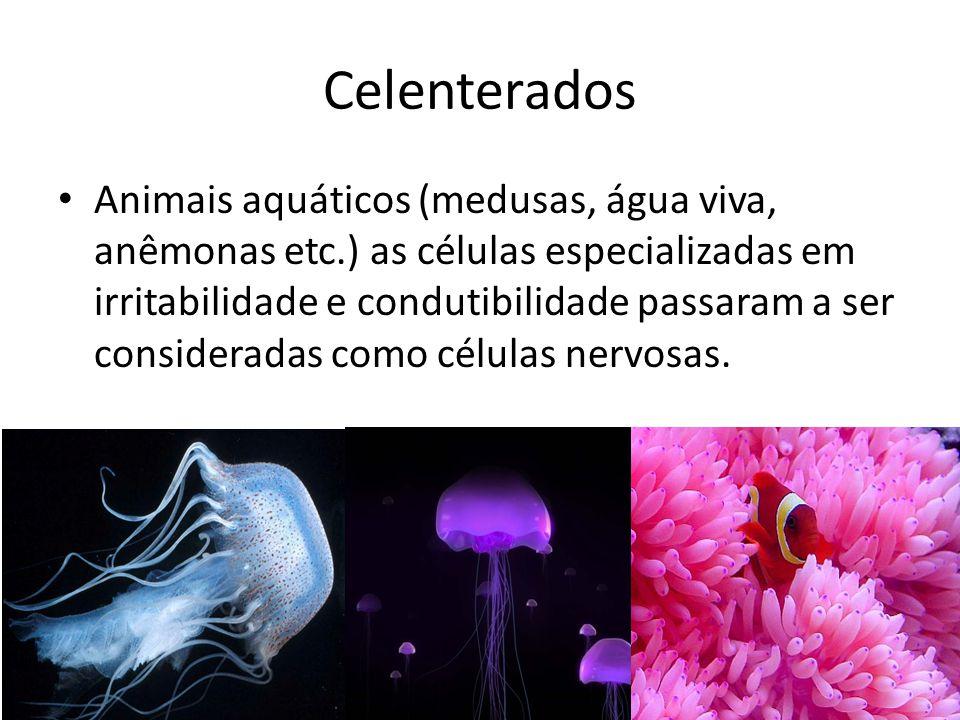 Celenterados Animais aquáticos (medusas, água viva, anêmonas etc.) as células especializadas em irritabilidade e condutibilidade passaram a ser consid