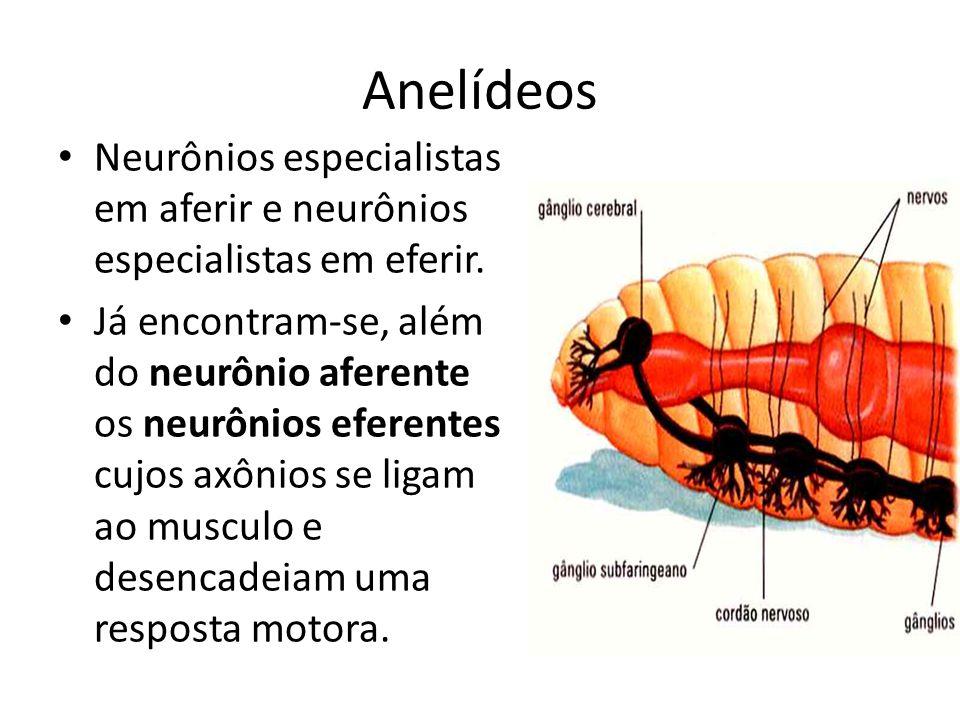 Anelídeos Neurônios especialistas em aferir e neurônios especialistas em eferir. Já encontram-se, além do neurônio aferente os neurônios eferentes cuj
