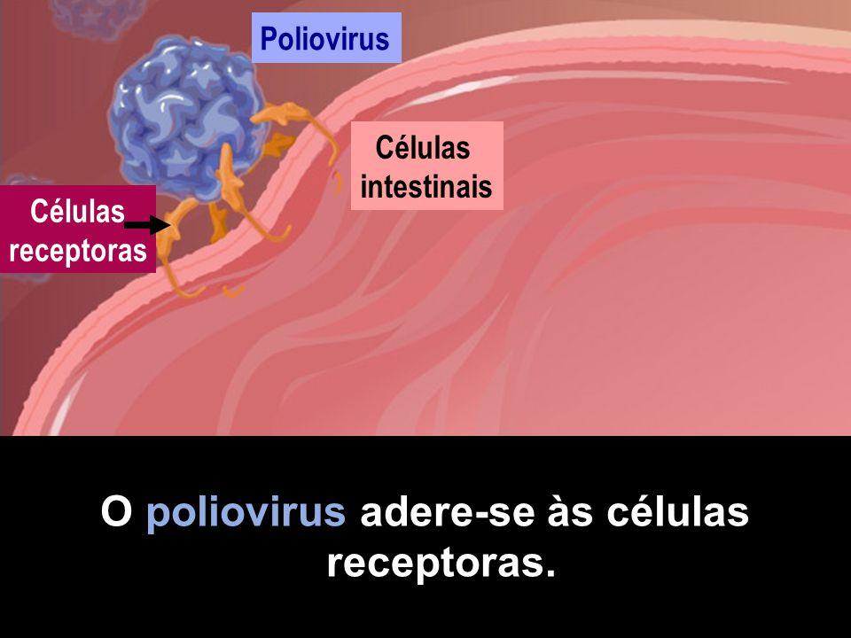 Se encontra um receptor correcto, começa a infecção. Células intestinais Poliovirus