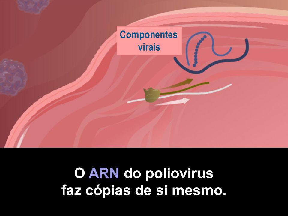 Células intestinais Poliovirus Células receptoras O poliovirus adere-se às células receptoras.