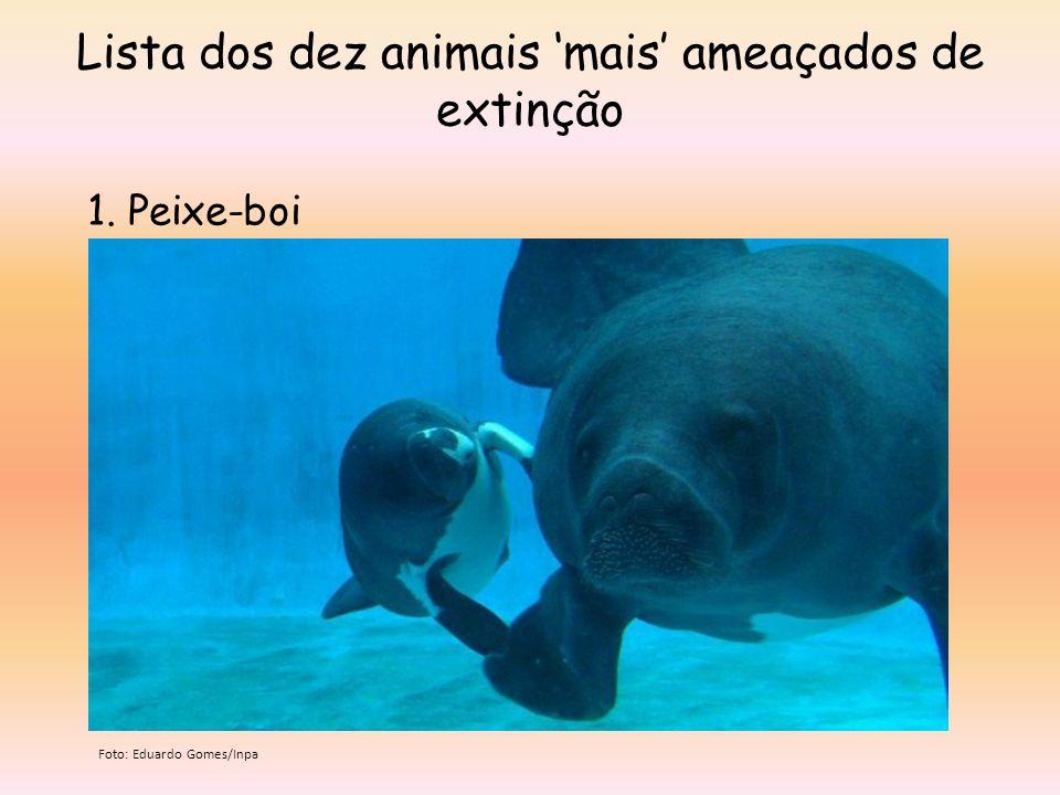 Lista dos dez animais mais ameaçados de extinção 1. Peixe-boi Foto: Eduardo Gomes/Inpa