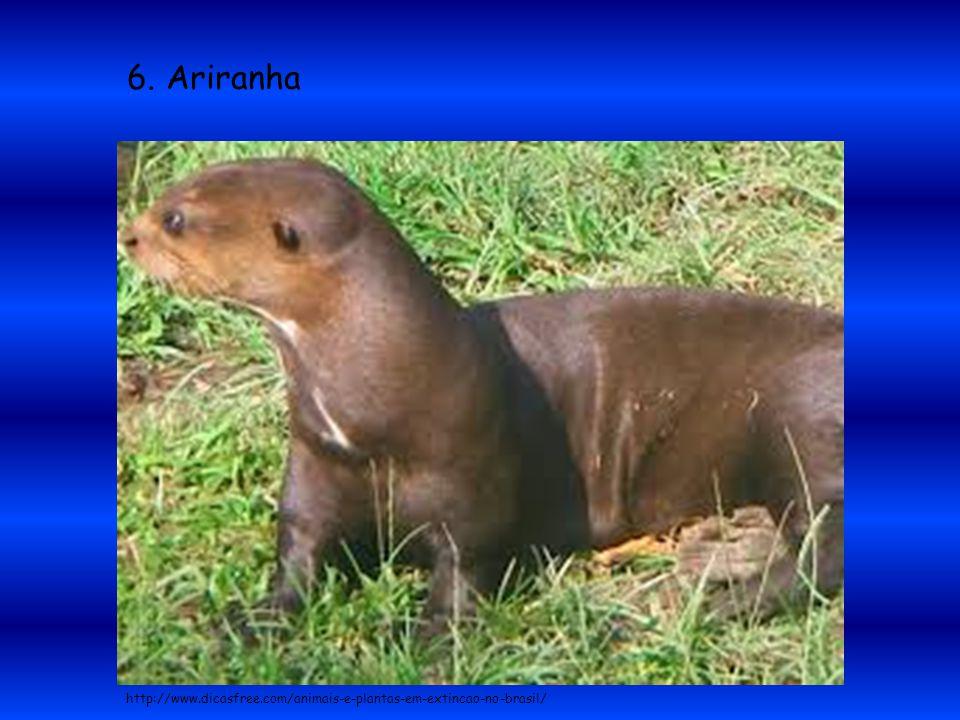 6. Ariranha http://www.dicasfree.com/animais-e-plantas-em-extincao-no-brasil/