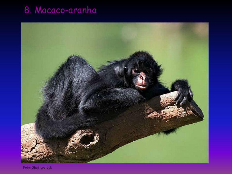 8. Macaco-aranha Foto: Shutterstock
