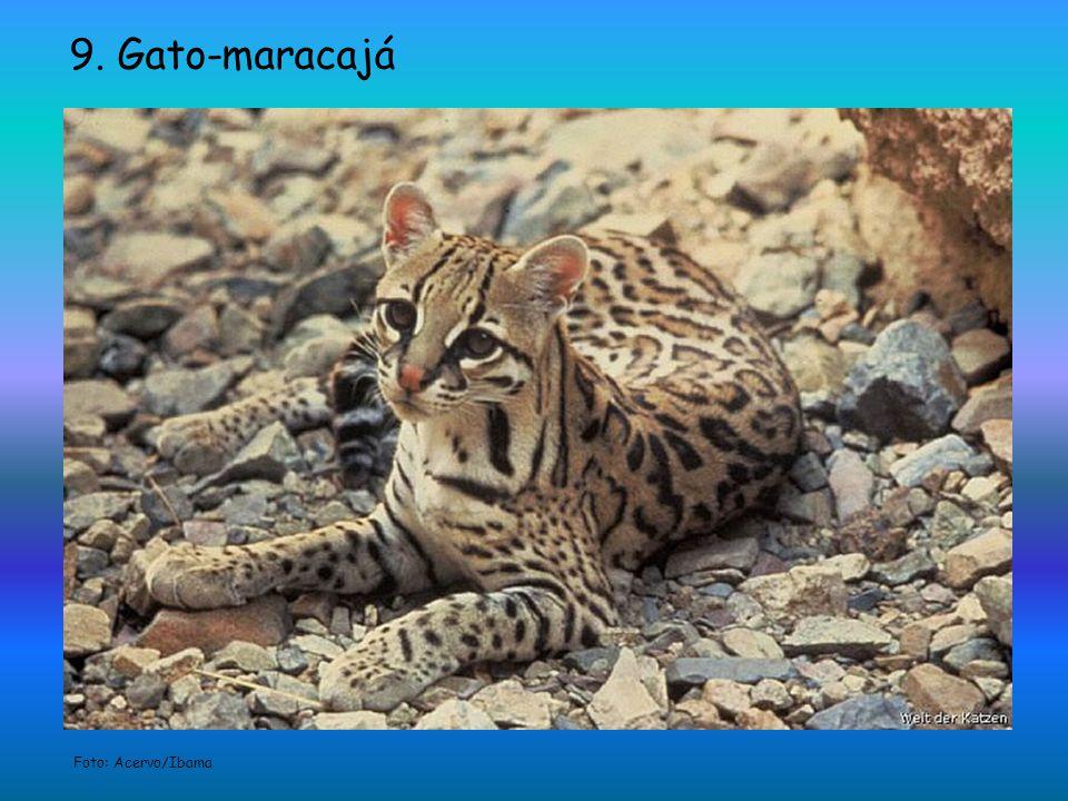 9. Gato-maracajá Foto: Acervo/Ibama