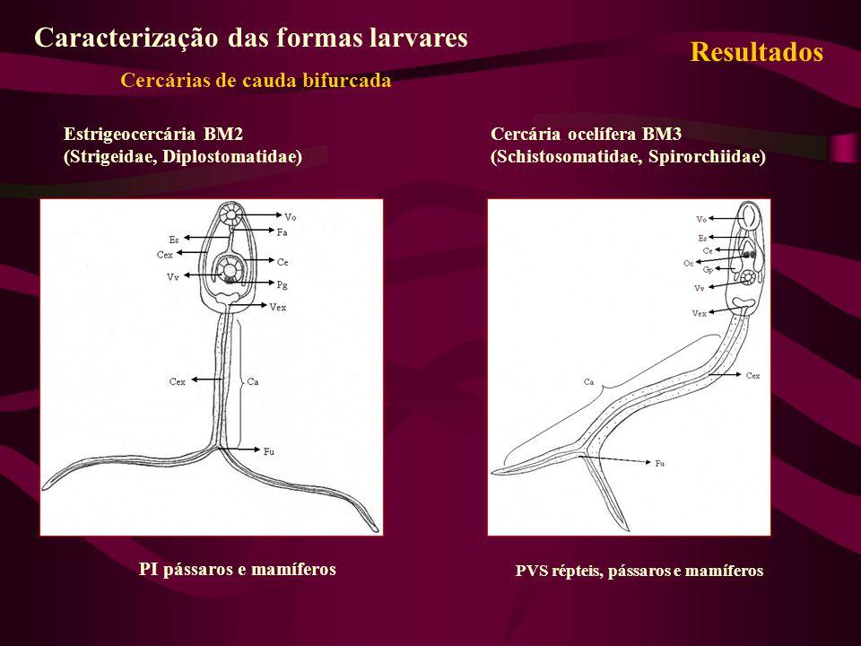 Estrigeocercária BM2 (Strigeidae, Diplostomatidae) Caracterização das formas larvares Cercárias de cauda bifurcada PI pássaros e mamíferos Cercária oc