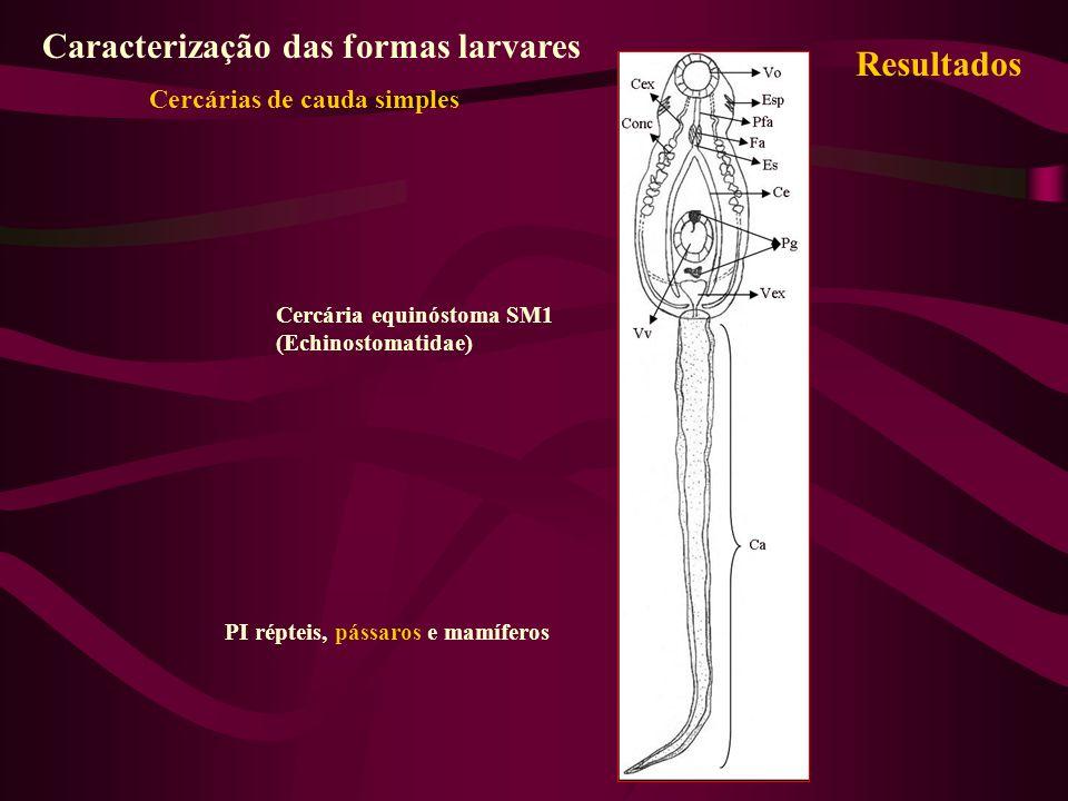 Cercária equinóstoma SM1 (Echinostomatidae) PI répteis, pássaros e mamíferos Resultados Caracterização das formas larvares Cercárias de cauda simples